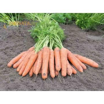 Професионални семена на моркови NANTES 5 – SAMSON (Нантес 5 Самсон)