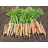 Професионални семена на цветни моркови RAINBOW (Рейнобоу)