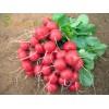 Професионални семена на репички ROLEX F1, Ролекс F1 -  Bejo Zaden