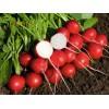 Професионални семена на репички ROVER F1, Роувър F1 - Бейо Заден