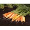 Семена на микс от моркови - оранжев, жълт и бял