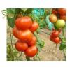 Семена на домати Матиас F1 (Matias F1) едър плод - за зимно, пролетно и есенно производство