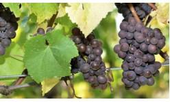 Торове за лозя и грозде