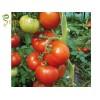 Семена за домати Бенатар F1 (Benatar F1) - ранозрели и за всеки сезон